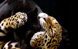 male panther and female leopard couple