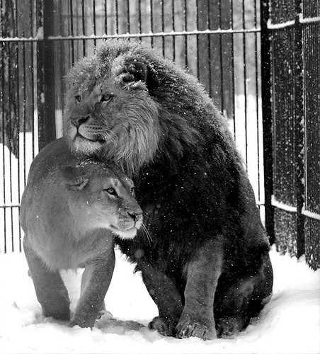 lion and lioness mate nuzzling in the snow