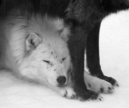 female wolf lying under male wolf standing protectively over her