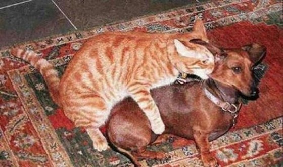 cat humping dachshund and biting its neck