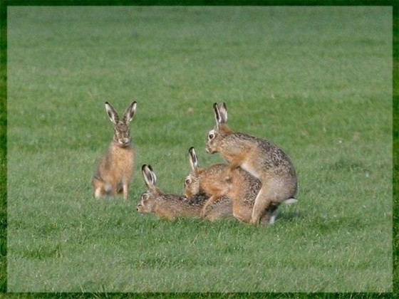 rabbits appearing to fuck each other threesome style while a fourth one watches