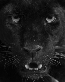 close up image of panther staring at camera