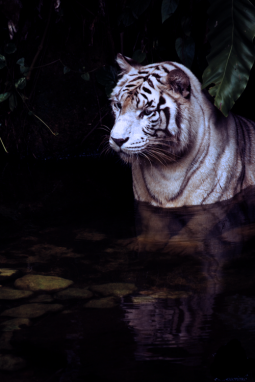 albino tiger sitting in a stream watching and fishing