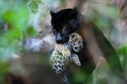 mother panther with cub in her mouth
