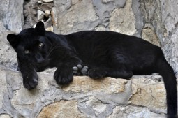 panther resting on a ledge