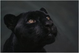 head shot of panther gazing upward