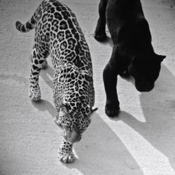 panther and leopard stalking together