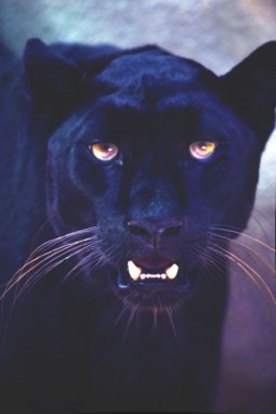 head shot of panther showing fangs