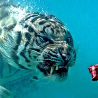 fierce growling tiger head shot while swimming underwater