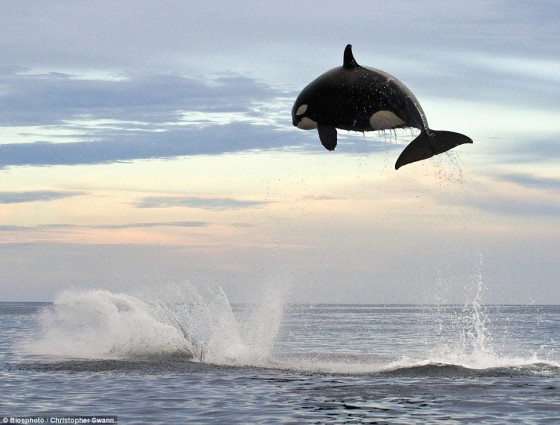 killer whale leaping entirely out of the water while hunting a dolphin
