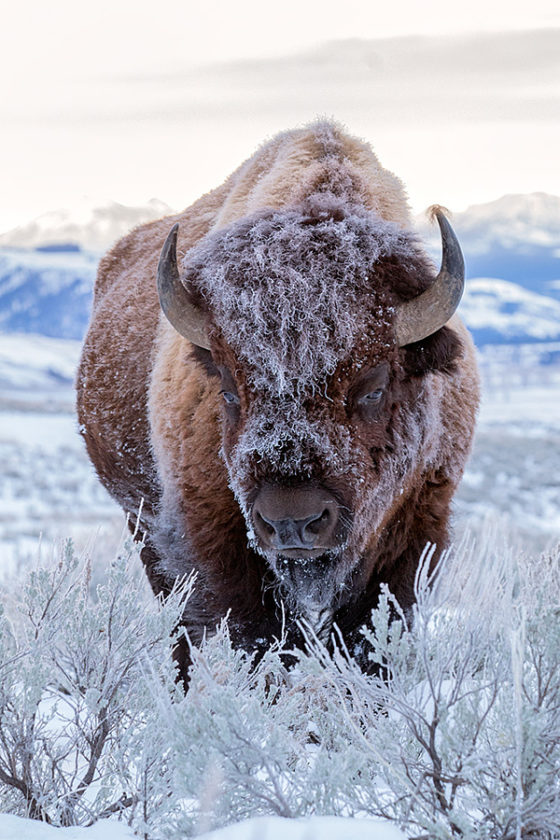 Bison-in-winter